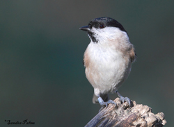 Marsh Tit by Sandra Palme