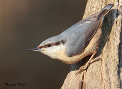 Nuthatch by Sandra Palme s