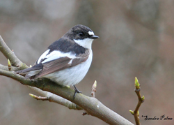 Pied Flycatcher by Sandra Palme s