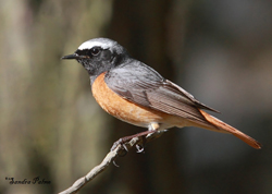 Redstart by Sandra Palme