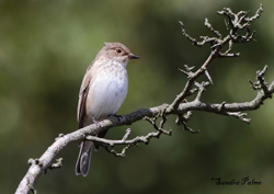 Spotted Flycatcher by Sandra Palme