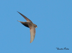 Swift by Sandra Palme s